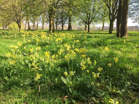 Cowslips at the southern end of New Walk