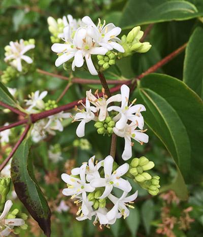 Seven Son Flower Tree