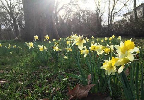 Daffodils near the Cherwell path