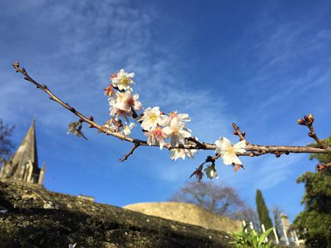 Winter Flowering Cherry