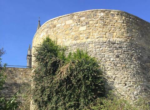Ercilla volubilis on the medieval wall.