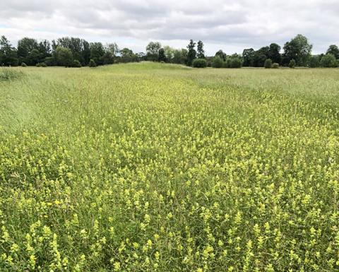 Yellow Rattle clearly visible in the restored area of the Meadow