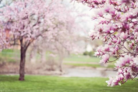 Spring trees in blossom