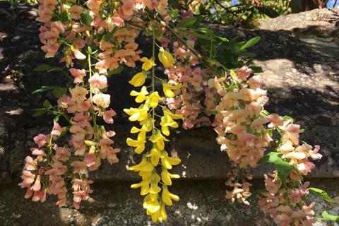 Close-up of the flowers of Adam's Laburnum